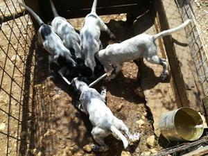 SETTER inglese 3 cuccioli