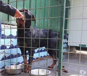 VEGA, splendida Rottweiler, CERCA CASA!!
