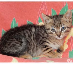 Urgente: gattina da adottare