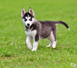 Bellissimo persiano bianco con occhi azzurri posot class - Husky con occhi diversi ...