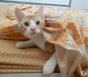 Gattino 5 mesi rosso a pelo cortoTrump adorabile
