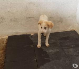Geo,stupendo cucciolo mix labrador in adozione