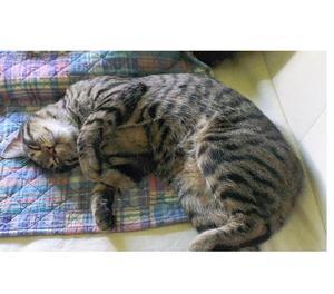 Smarrito gatto Varese zona Casbeno