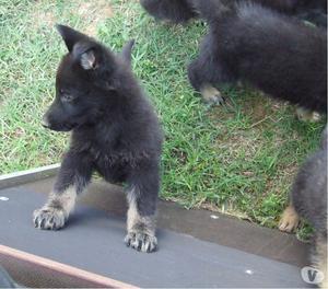 disponibili cuccioli di pastore tedesco