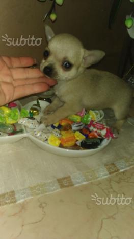 Cuccioli di chiwawa ciwawa chiuhahua mini toy