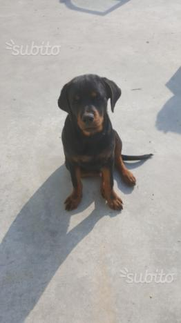 Cucciolo Rottwailer 5 mesi