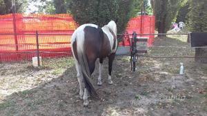 Femmina paint horse 4 anni