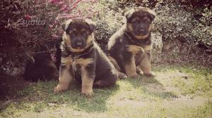 Pastore Tedesco cuccioli di 70 giorni