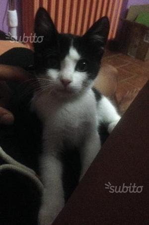 Regalo gattina di 6 mesi dolcissima