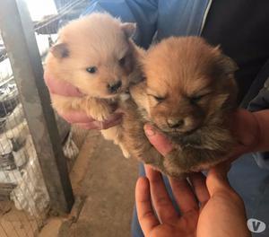 Cuccioli volpino di pomerania 2-3 mesi