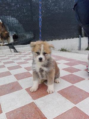 DISPONIBILI cuccioli di Akita