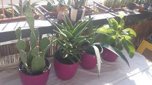 Lot.n.39xx 4 Vasi fuxia 4 piante grasse
