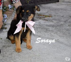 soraya, bellissima cucciola da amare