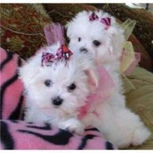 MALTESE toy cuccioletta
