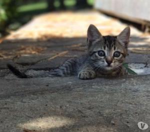 cuccioli gattini europei