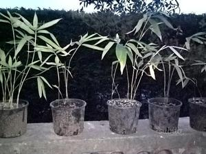 Piante di bambù moso gigante