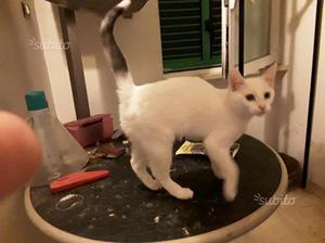 Adozione gatto cucciolo femmina tre mesi bianca