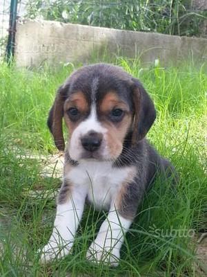 Beagle cuccioli taglia piccola
