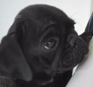 Carlino nero con pedigree