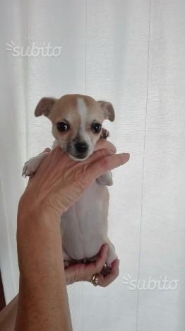 Chihuahua toy femmina nata il