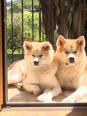 Cuccioli di Akita Inu con Pedigree