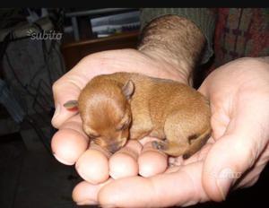 Cuccioli di pinscher toy