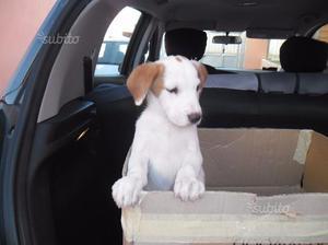 Cucciolo Di Padre Beagle Di Due Mesi Vaccinato