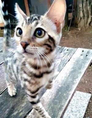 Gattina razza bengala