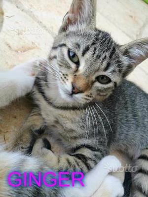 Gattina tigrata 4 mesi