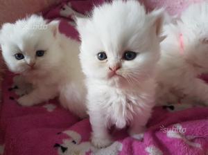 Gattini persiani bianchi occhi azzurri