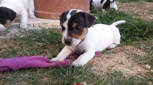 Jack Russel Terrier femmina
