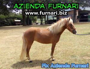 Pony femmina domata