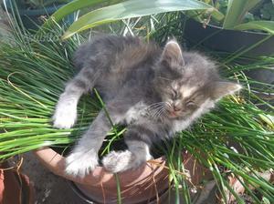 Regalo 2 gattini grigi