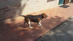 Regalo Beagle maschio