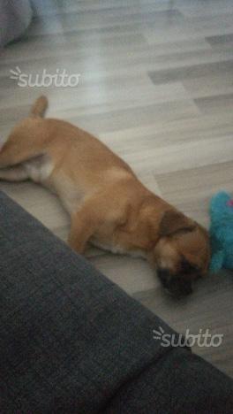 Regalo cane di piccola taglia di 1 anno e 4 mesi