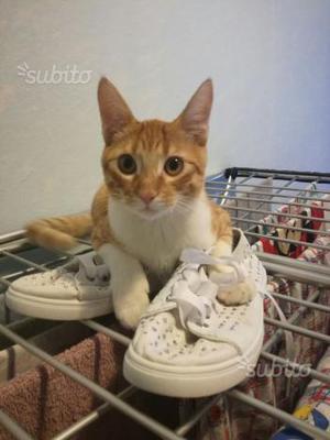 Regalo gattino 6 mesi vaccinato
