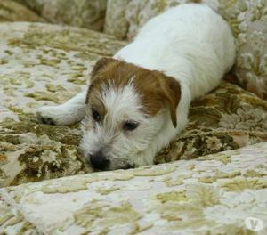 cucciolo di jack russell terrier
