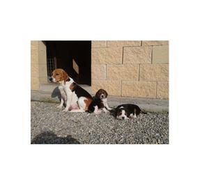 Beagle tricolore cucciole di 3 mesi