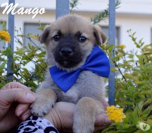 cucciolo Mango, due mesi, taglia media