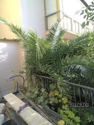 Palma da datteri pianta ornamentale per giardino posot class - Costo palma da giardino ...