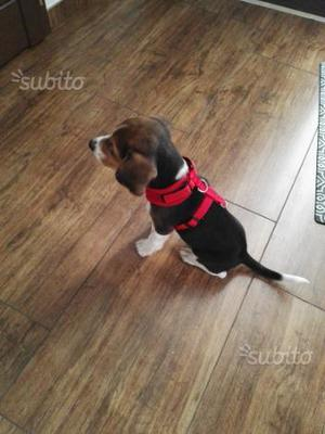 Beagle 3 mesi maschio