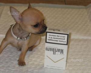 Chihuahua messicani minitoy pelo raso e pelo lungo