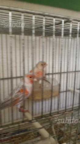 Coppia di canarini agata topazio