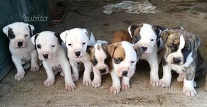 Cuccioli di American bulldog