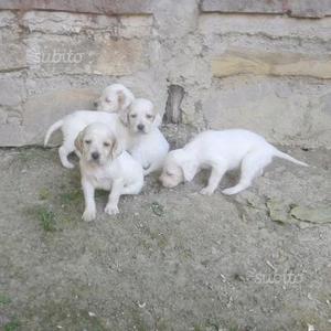 Cuccioli setter inglese con pedigree