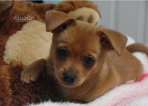 Cucciolo incrocio pinscher chihuahua
