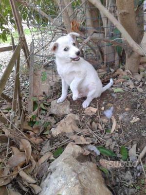 Cucciolo mix border collie volpino in adozione