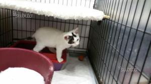 Dolcissimo gattino in adozione
