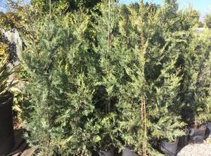 Cerco piante siepe leylandii posot class - Cerco piante da giardino in regalo ...