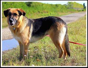 Cane femmina incrocio pastore tedesco, in regalo
